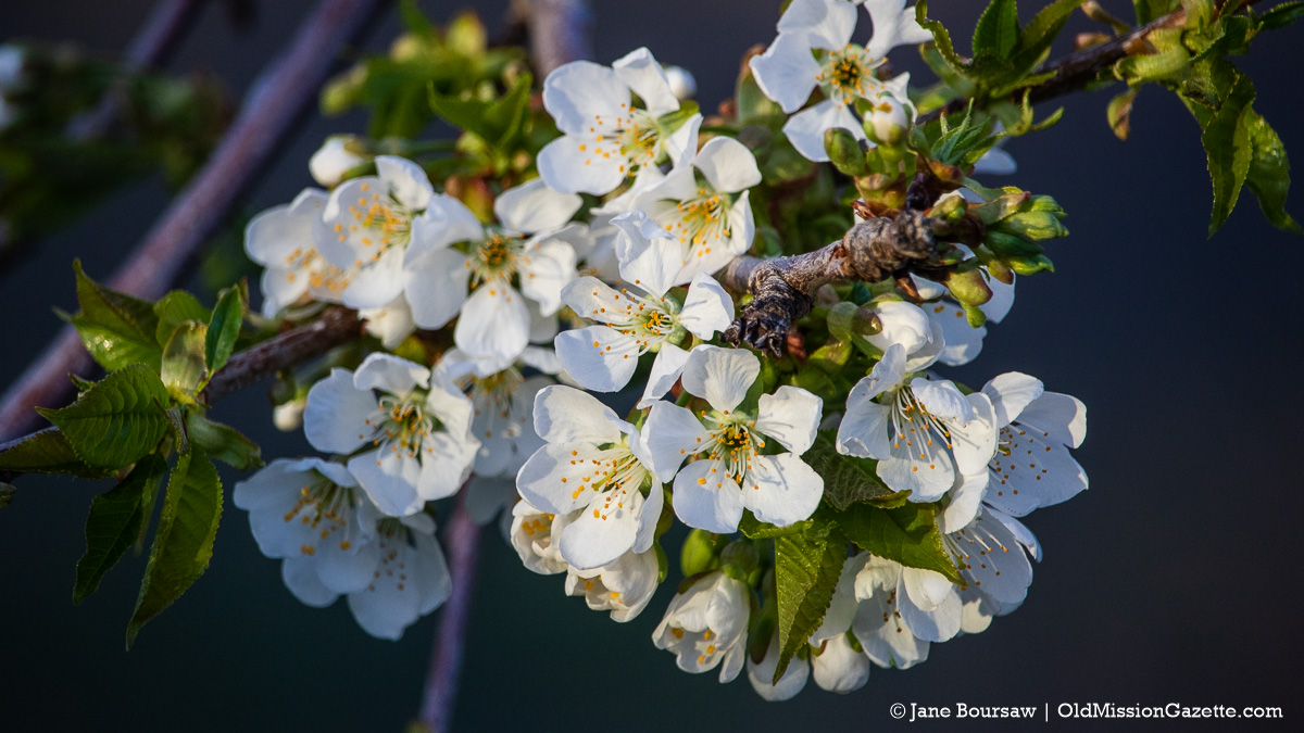 Sweet Cherry Blossoms on Johnson Farms on the Old Mission Peninsula | Jane Boursaw Photo