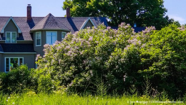 Altenburg Lilacs are blooming in Old Mission | Jane Boursaw Photo