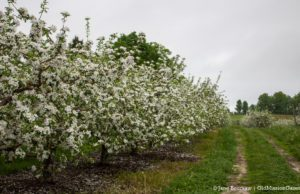 "Apple blossoms in the Johnson Farms apple orchard on ""The Forty,"" corner of Peninsula Drive and Kroupa Road 