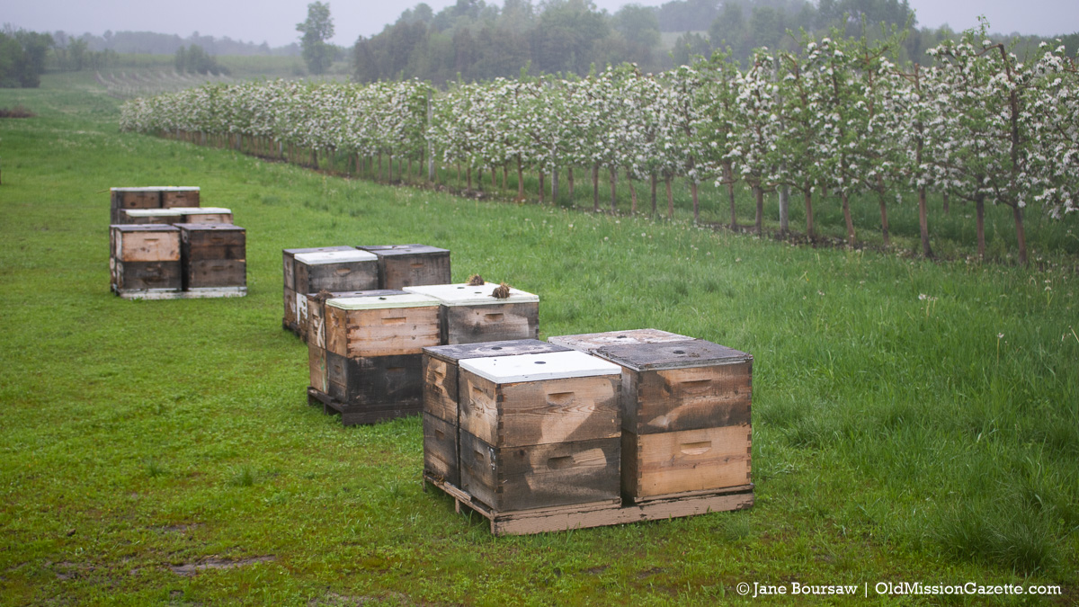 Busy Bees in the Johnson Farms apple orchard on the Old Mission Peninsula | Jane Boursaw Photo