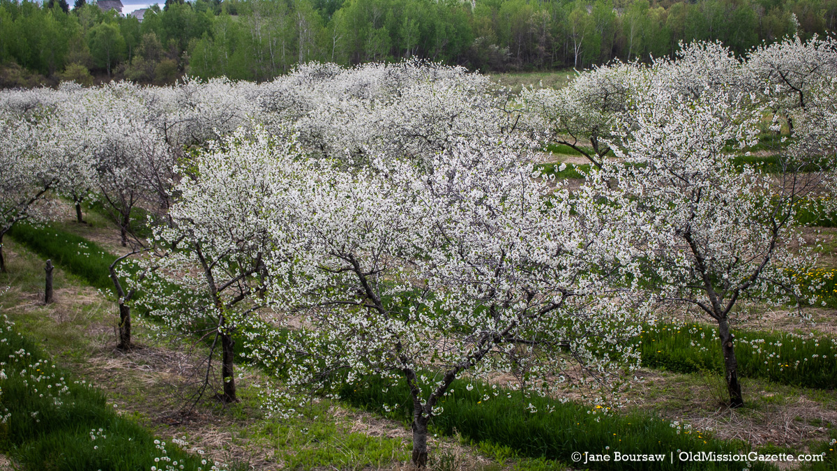 Cherry Blossoms on Johnson Farms on the Old Mission Peninsula | Jane Boursaw Photo