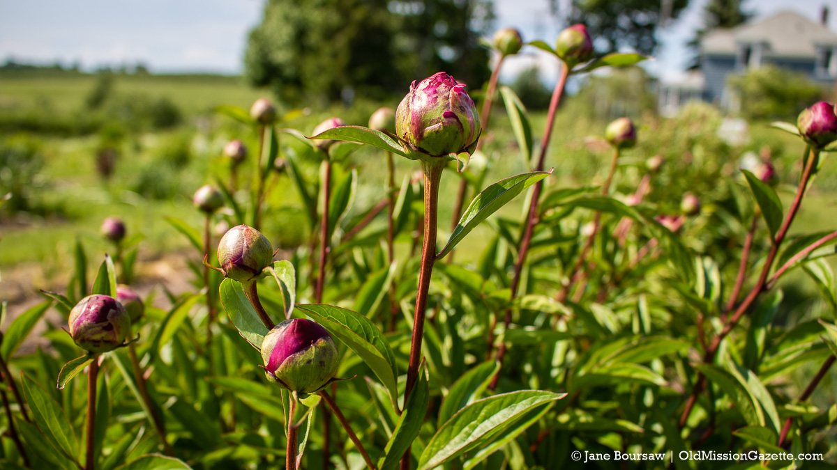 Peonies at Old Mission Flowers on the Old Mission Peninsula | Jane Boursaw Photo