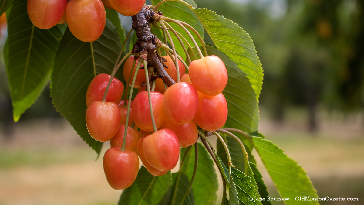 Sweet Cherries at Johnson Farms on the Old Mission Peninsula | Jane Boursaw Photo