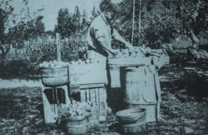 """Edgar P. DeVol packing apples bound for Chicago in 1929; John """"J.D."""" DeVol's grandfather 