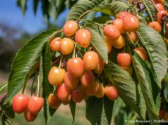 Light Sweet Cherries on Johnson Farms on the Old Mission Peninsula | Jane Boursaw Photo