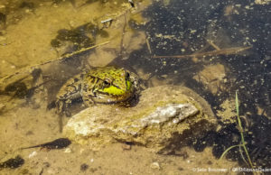 Large Frog and Tadpoles at Hickory Hills Trail in Traverse City | Jane Boursaw Photo