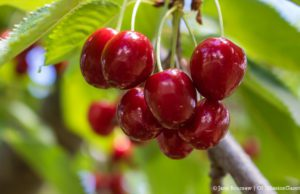 Sweet Cherries on the Old Mission Peninsula | Jane Boursaw Photo