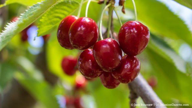 Sweet Cherries on the Old Mission Peninsula   Jane Boursaw Photo