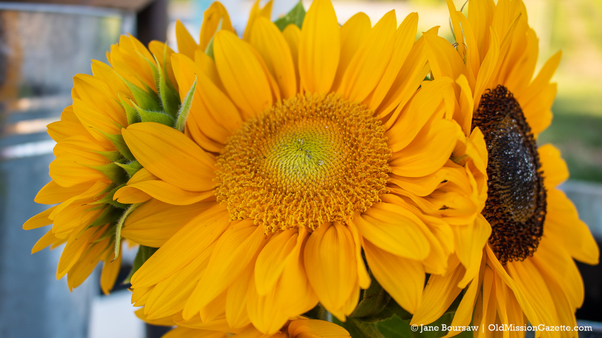 Sunflowers from The Farm at Cherry Hill on the Old Mission Peninsula | Jane Boursaw Photo