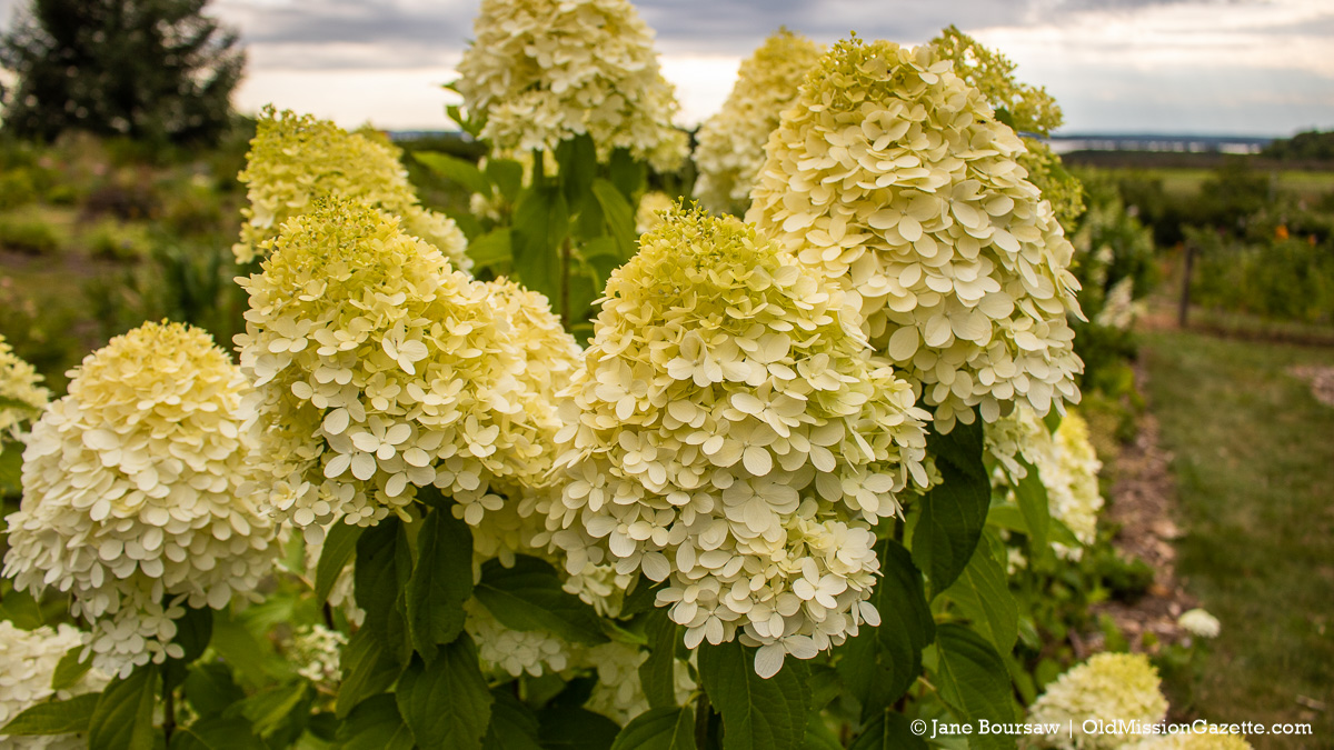 Hydrangea at Old Mission Flowers on the Old Mission Peninsula | Jane Boursaw Photo