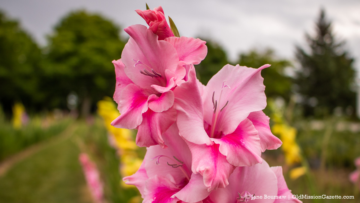 Gladiolus at Old Mission Flowers on the Old Mission Peninsula | Jane Boursaw Photo