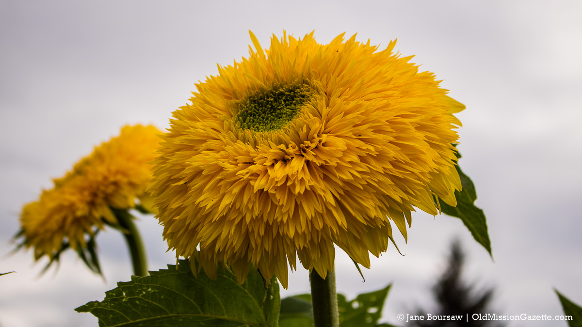 Fluffy Sunflower at Old Mission Flowers on the Old Mission Peninsula | Jane Boursaw Photo