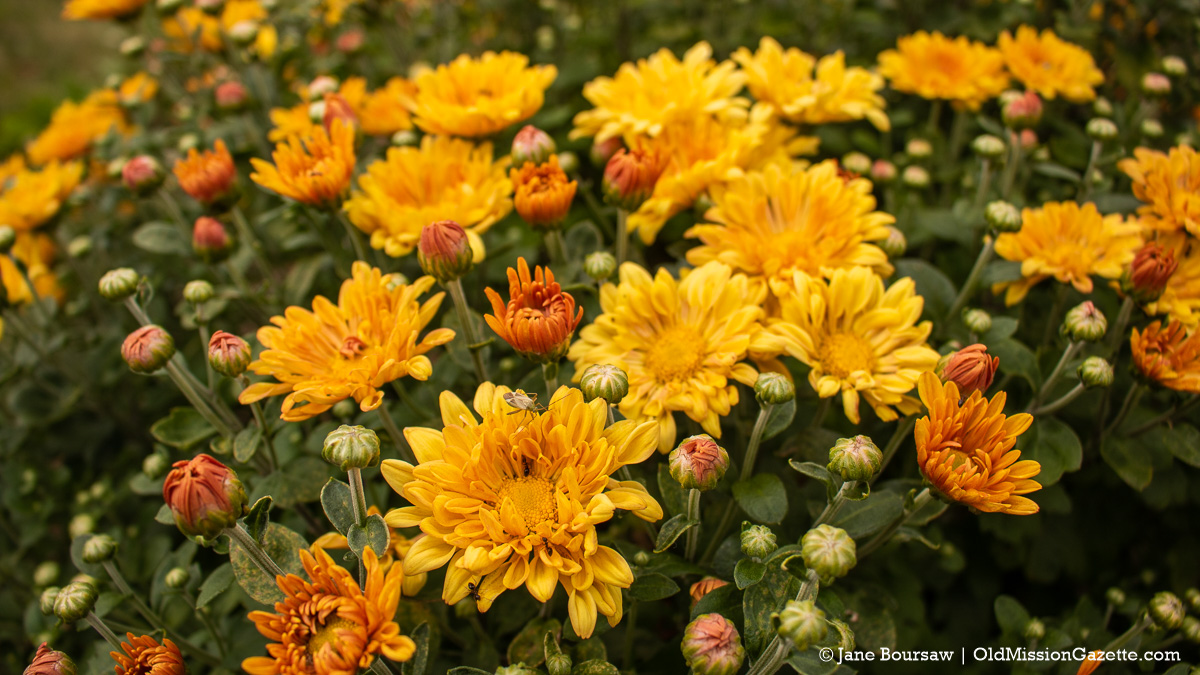Zinnias at Old Mission Flowers on the Old Mission Peninsula | Jane Boursaw Photo