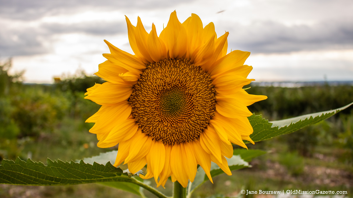 Sunflower at Old Mission Flowers on the Old Mission Peninsula | Jane Boursaw Photo