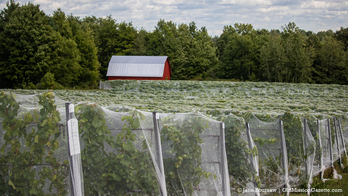 Grape Sweaters at Brys Estate on the Old Mission Peninsula | Jane Boursaw Photo