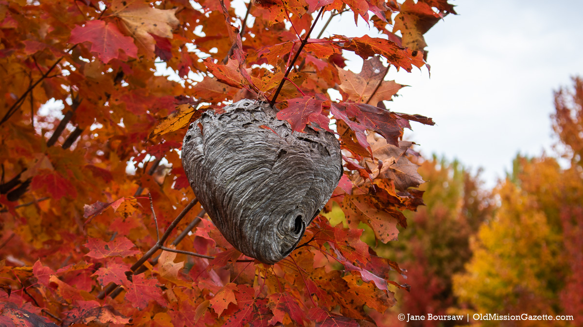 Fall Colors on the Old Mission Peninsula; Smokey Hollow Road (featuring wasp's nest) from Boursaw Road intersection | Jane Boursaw Photo