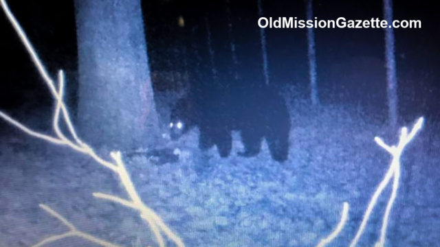 Bear spotted on Brad Wheat's trailcam behind Craig's Body Shop on Craig Road on the Old Mission Peninsula | OldMissionGazette.com; Brad Wheat Photo