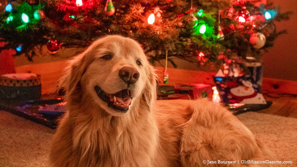 Guinness the Golden Retriever Christmas Dog | Jane Boursaw Photo