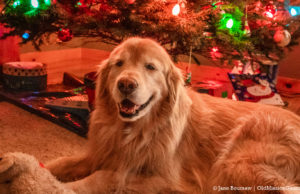 Guinness the Golden Retriever Christmas Dog | Jane Boursaw Photo