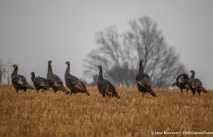 Mapleton Turkeys strut their stuff | Jane Boursaw Photo