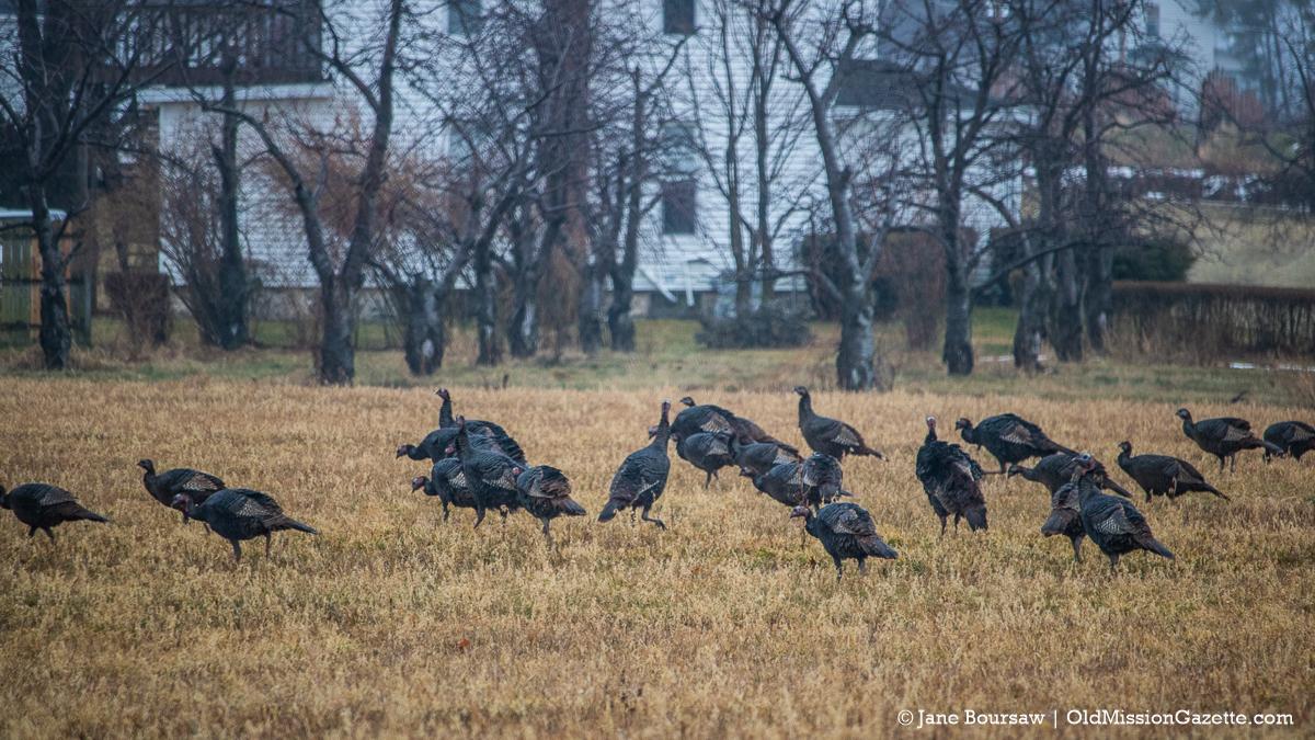 Mapleton Turkeys strut their stuff   Jane Boursaw Photo