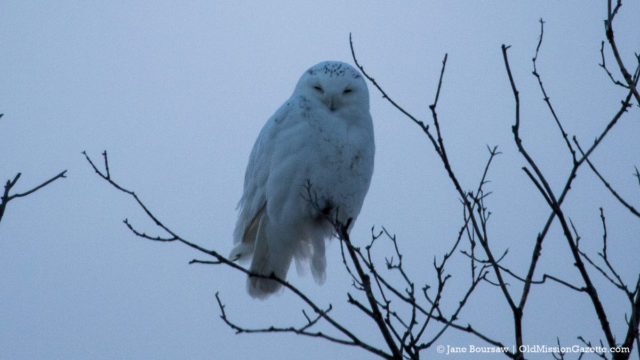 Snowy Owl on Center Road on the Old Mission Peninsula | Jane Boursaw Photo