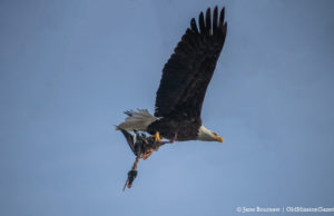 Bald Eagle carrying prey on the Old Mission Peninsula   Jane Boursaw Photo