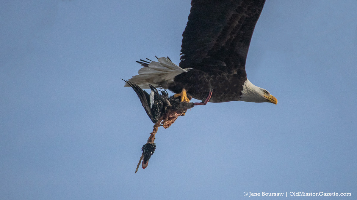 Bald Eagle carrying prey on the Old Mission Peninsula | Jane Boursaw Photo