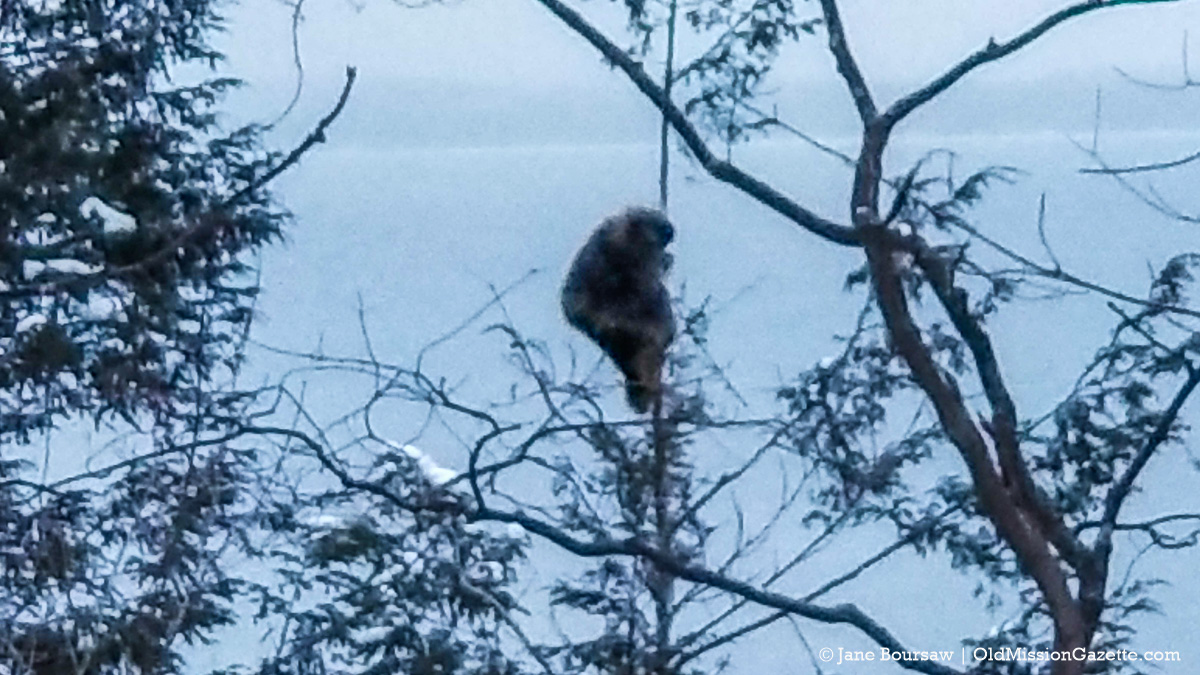 Animal climbing a tree on the Ridgewood Trail, Old Mission Peninsula   Jane Boursaw Photo