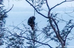 Animal climbing a tree on the Ridgewood Trail, Old Mission Peninsula | Jane Boursaw Photo