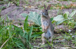 Bunny on the Old Mission Peninsula | Jane Boursaw Photo