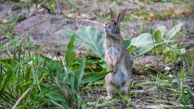 Bunny on the Old Mission Peninsula | Jane Boursaw Photo
