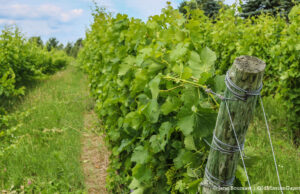 Old Mission Peninsula Vineyard | Jane Boursaw Photo