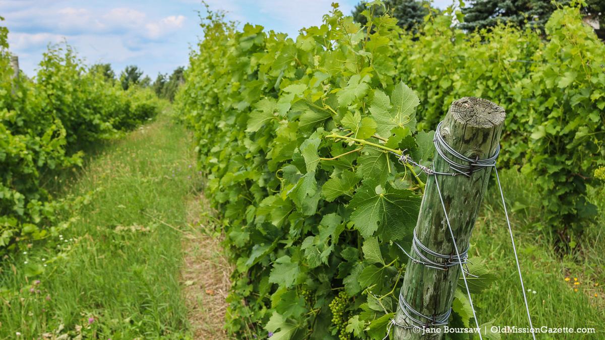 Wineries - Old Mission Peninsula Vineyard | Jane Boursaw Photo
