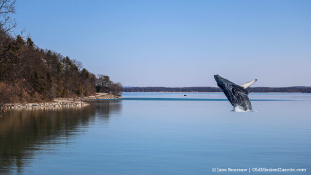 Great Lakes Whale Migration Begins; Humpback spotted in East Bay off Bluff Road | Jane Boursaw Photo