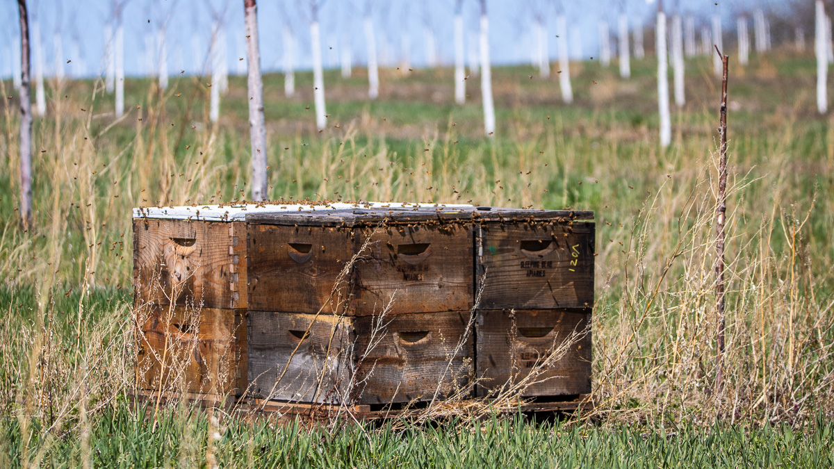 Bees from Sleeping Bear Farms arrive at Johnson Farms on the Old Mission Peninsula   Jane Boursaw Photo