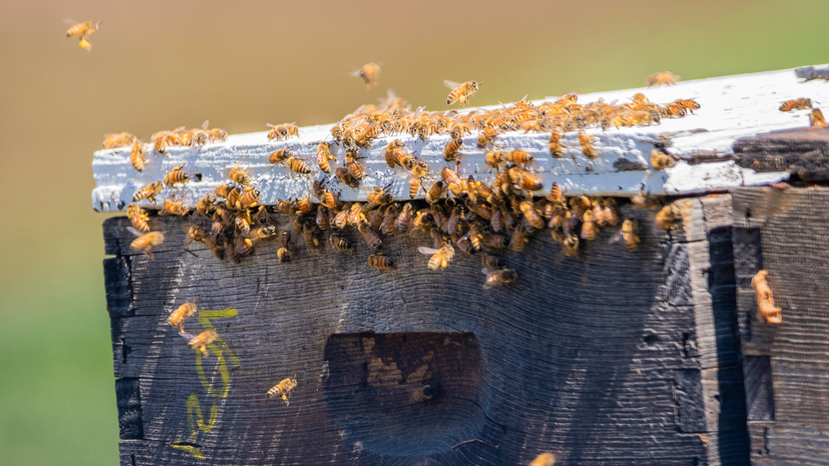 Bees from Sleeping Bear Farms arrive at Johnson Farms on the Old Mission Peninsula | Jane Boursaw Photo