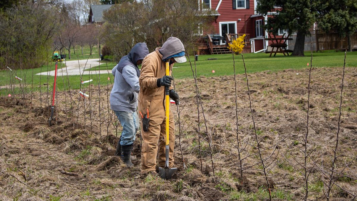Planting high-density Honeycrisp apples on Johnson Farms on the Old Mission Peninsula | Jane Boursaw Photo