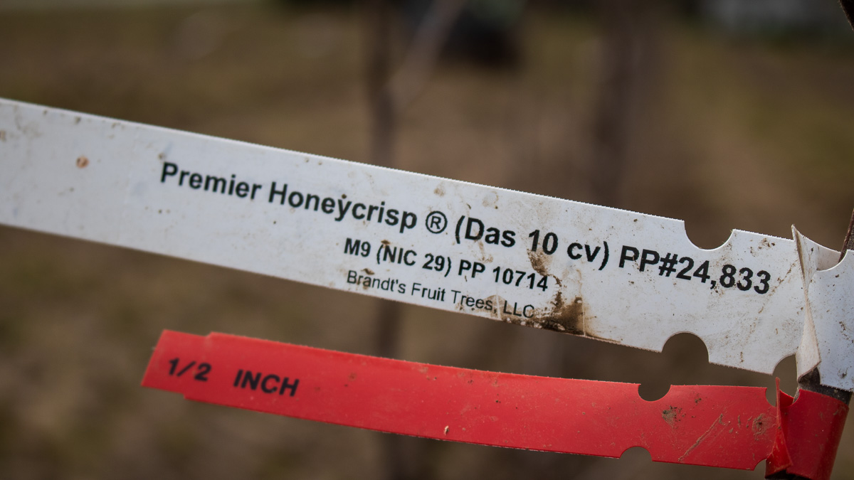 Premier Honeycrisp apple trees from Brandt's Fruit Trees in Yakima, Washington | Jane Boursaw Photo