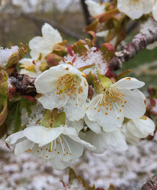 Sweet Cherry Blossoms in the Snow   Ginny Coulter Photo, Old Mission Flowers
