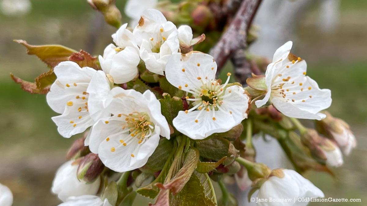 Frozen sweet cherry blossom (black spot on right-hand blossom) on Johnson Farms   Jane Boursaw Photo