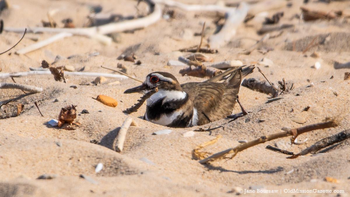 Killdeer nesting at Kelley Park on the Old Mission Peninsula | Jane Boursaw Photo