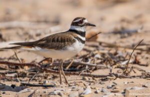 Killdeer at Kelley Park on the Old Mission Peninsula | Jane Boursaw Photo