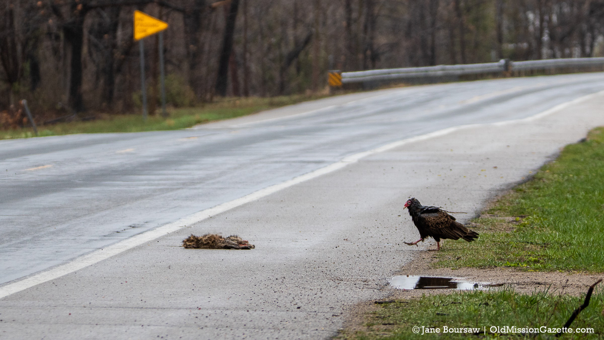 Turkey Vulture on Center Road near the Bluff Road intersection | Jane Boursaw Photo