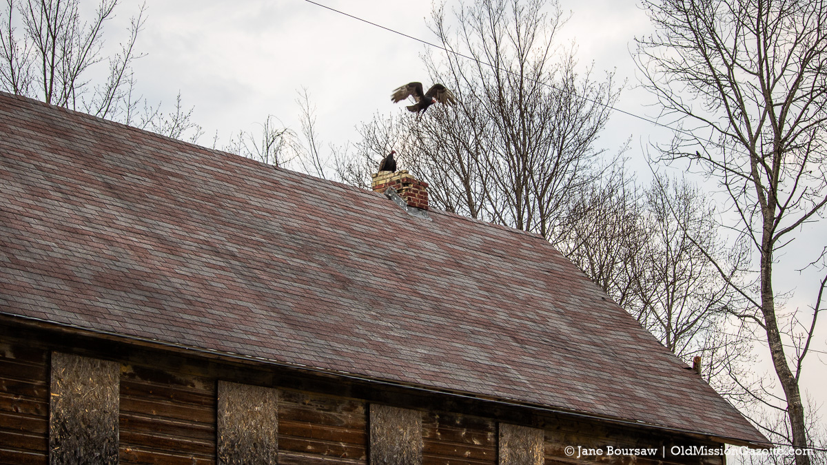 Turkey Vultures on the roof of Pearl Hill's Grocery Store in Old Mission | Jane Boursaw Photo