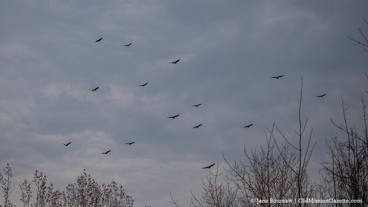 Turkey Vultures in Old Mission Village | Jane Boursaw Photo