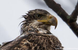 Young Bald Eagle outside Jane's window on Bluff Road, Old Mission Peninsula | Jane Boursaw Photo