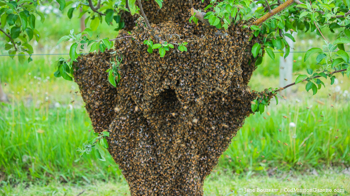 Bee Swarm at Johnson Farms; The Forty, corner of Peninsula Drive and Kroupa Road   Jane Boursaw Photo