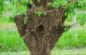 """Bee swarm in an apple tree on """"The Forty"""" at Johnson Farms, corner of Peninsula Drive and Kroupa Road 