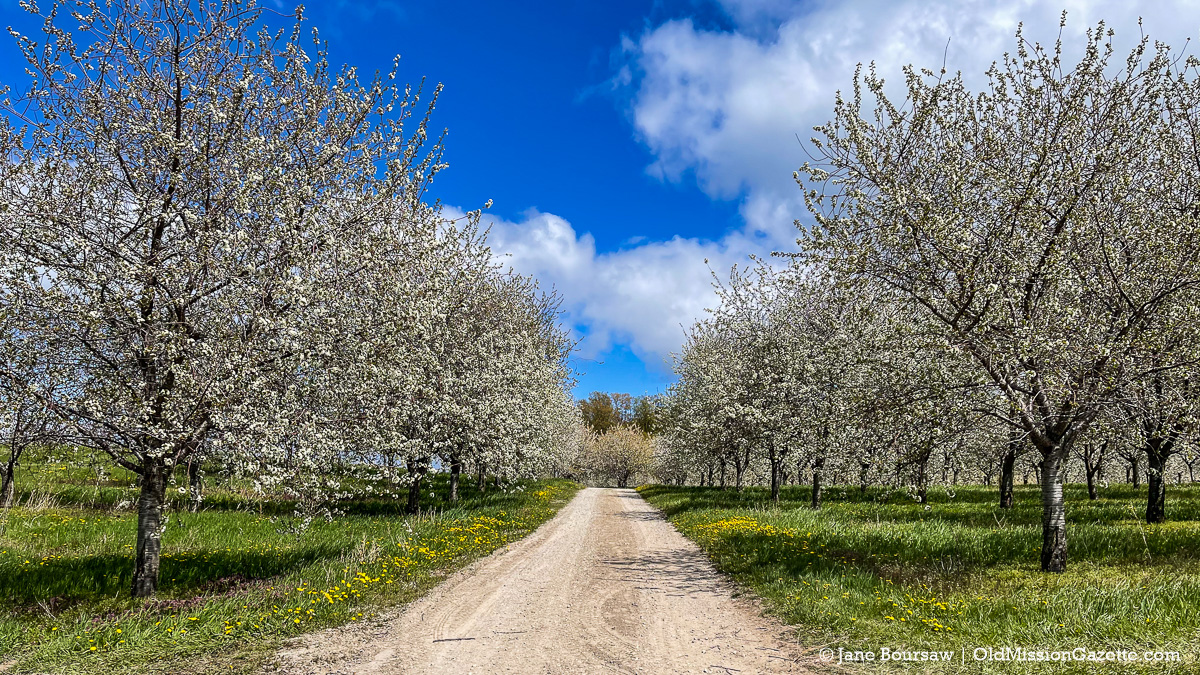 Cherry Blossoms at The Farm at Cherry Hill on Center Road   Jane Boursaw Photo